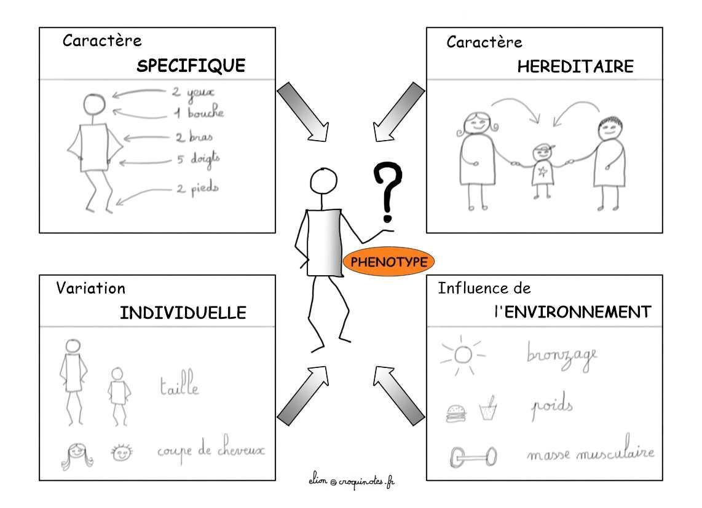Introduction à la génétique avec une sketchnote sur les caractères formant un phénotype